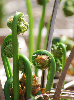 A cluster of fiddleheads as they emerge from the damp, stream-side earth.
