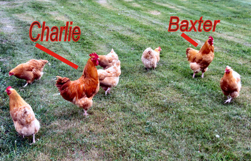 Our two Buff Orpington roosters are named Charlie and Baxter.