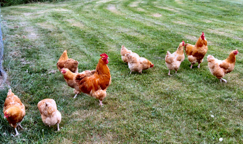 Free Range Chicken Flock
