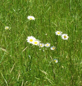 Daisies along the Interstate 95 roadside in Northen Maine