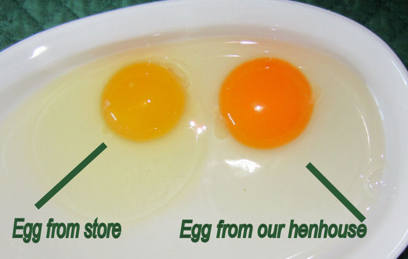Photo comparing the quality of our eggs from our home flock.