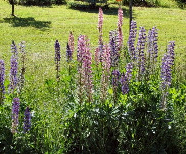 Lupine close up from Linda Lynch's front yard