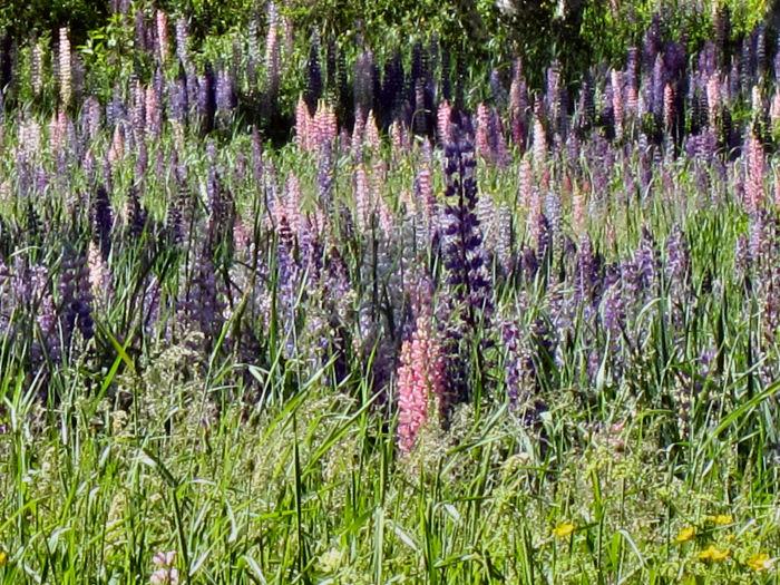 Wild Lupine field close up