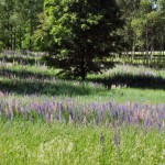 Lupine Field near Allison Perrrins House