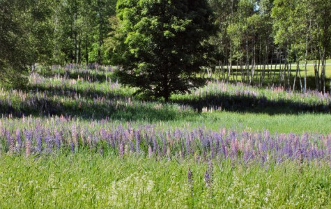 Lupine Field near Allison Perrrins House