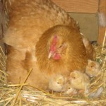 They're Here ….. Baby Chicks