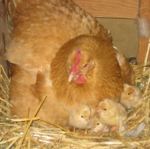 Buff_oprpington_hen_with_chicks