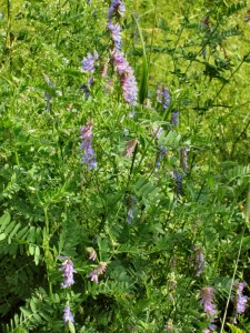 Close up of purple cow vetch