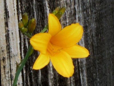 Yellow day lily blossom