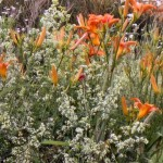 Daylilies, Wild Madder, and Cow Vetch….enjoying the naturalness of it all!