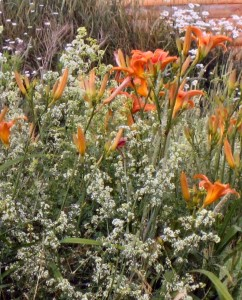 orange day lilies and wild madder closeup