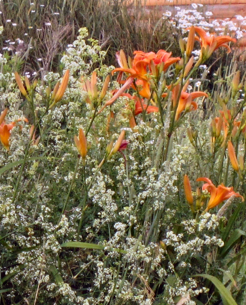 orange day lilies and wild madder closeup