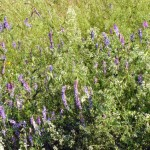 Purple cow vetch and wild madder in the fields