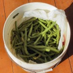 Gardening Glut – Canning Dilly Beans- Water Bath Canning 101