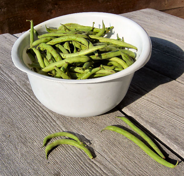 Bowl of Fresh green beans ready to be processed into dilly beans uaing the water bath canning method