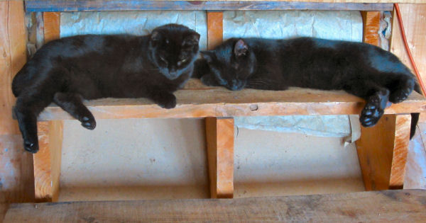 Cats, cat, kitten, fresh step cat litteres black cat
