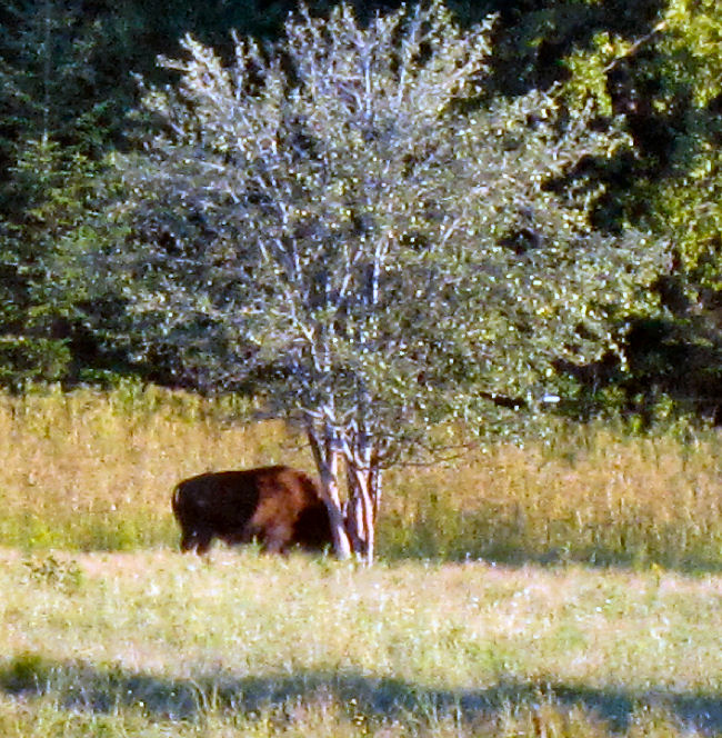 American Buffalo, bison, Aroostook County, Maine