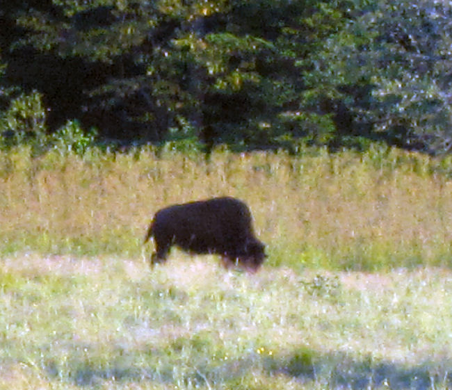 American buffalo bison grazing in Smyrna , Maine