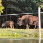 Oh, give me a home where the Buffalo roam! Yup, in Aroostook County, Maine!!!!