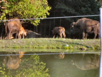 American buffalo Bison cow bull calf calves Smyrna Mills, Maine