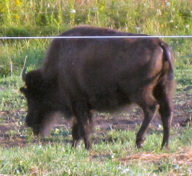 American buffalo bison grazing in Smyrna Maine