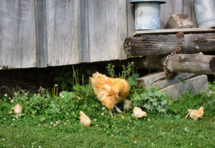 buff orpington hen with her chicks