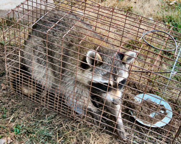 Raccoons are a hen house nightmare