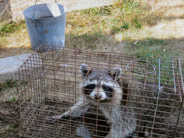Raccoon, varmit, chickens, henhouse