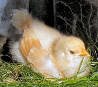 Baby Chick, Buff Orpington baby chicks