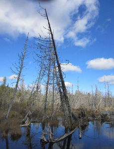 North Maine Woods, Swamp, beaver Pond, Bog
