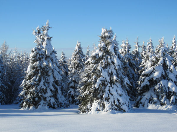 Snow laden spruce trees near Mount Katahdin in Sherman Mills, Maine