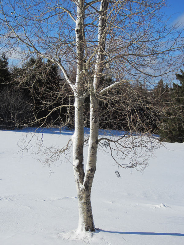 Poplar, blizzard of 2013, Mount Katahdin