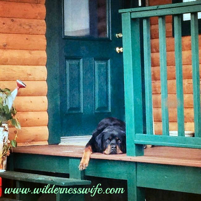 Dog, Rottweiler, log cabin, summer heat