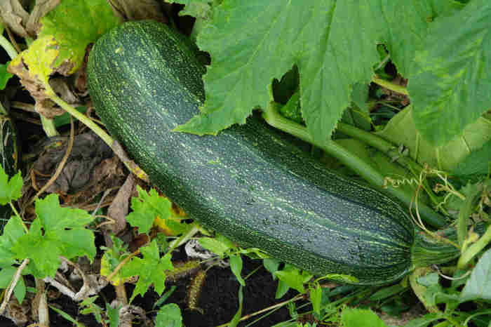 Zucchini squash growing in the garden just about to be picked to use in the preparing of Zucchini Italiano Casserole Recipe, my favorite zuchini redipe