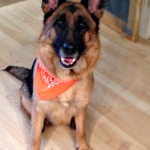 German Shepherd, tracking dog, search and rescue dog