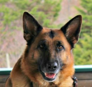German shepherd, puppyhood, purina