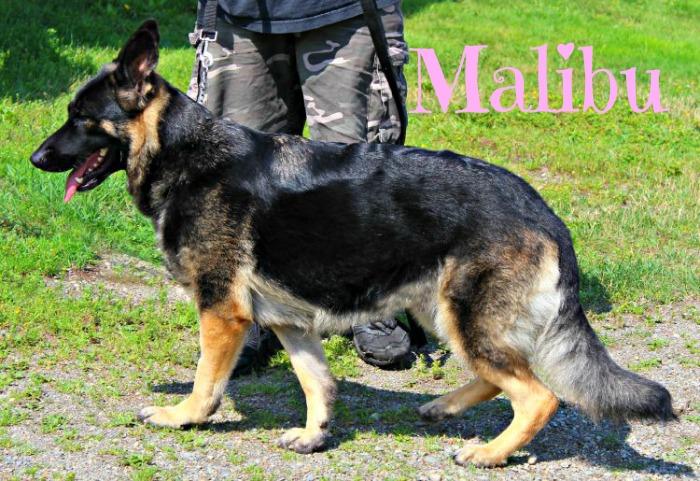 German Shepherd dog, GPS dog tracker