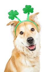 St. Patricks Day Labrador Retriever