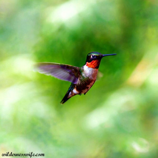 Ruby Throated Hummingbird hovering mid air just as he is landing to try my Homemade Hummingbird Food Recipe
