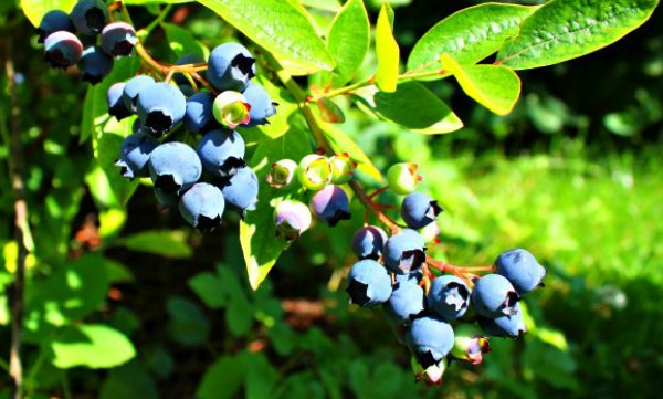 Ripe and unripe blueberries growing on a bush in Maine