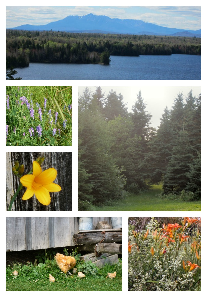 A collage of photos of the Maine Northwoods in the summer showing Maine wildflowers, Maine summer photos, Maine Northwoods, Mount Katahdin, Spruce trees, daylilies, vetch, buff orpington chickens and Mount Katahdin and Salmon Stream Lake near Sherman, Maine.