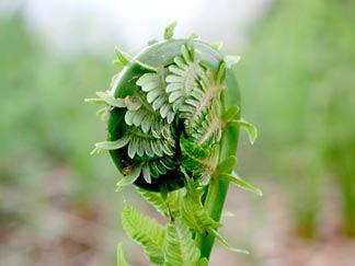 Fiddlehead fern. fiddleheads, how to cook fiddleheads, fiddlehead recipes