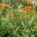 Frothy wildmadder and orange day lilies