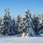 Snow laden spruce trees near Mount Katahdin in Sherman Mills, Maine