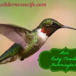 Male ruby-throated hummingbird checking out hummingbird food recipe