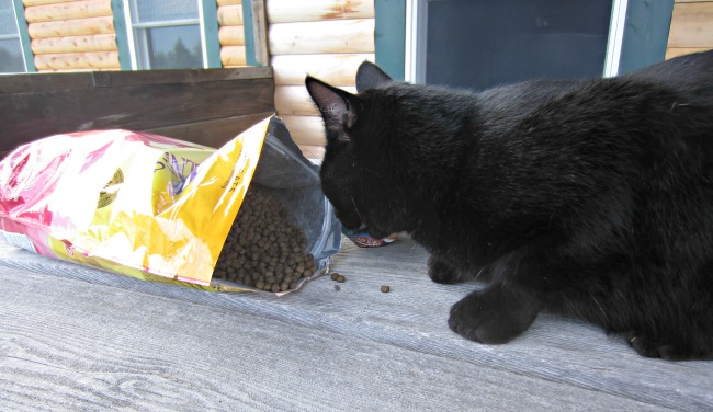 Oh wow! He likes it! Chuckles the Cat eating something that is healthy and nutritional! Another score for Wellness Pet Foods!!!!!!