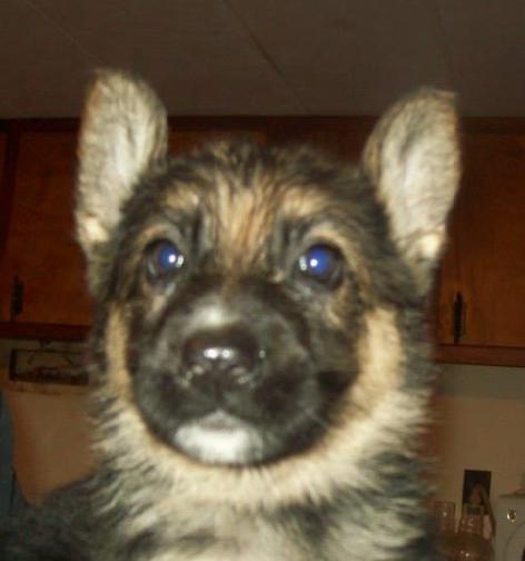 german shepherd puppy, purina, puppyhood