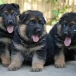 feeding German Shepherd puppies, dog food for puppiespuppy, puppies, German Shepherd puppies