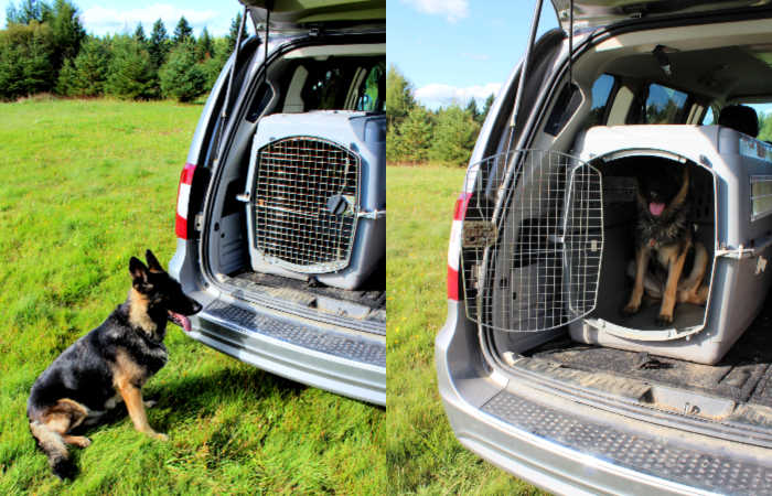 Trained German Shepherd Service Dog waiting to enter van