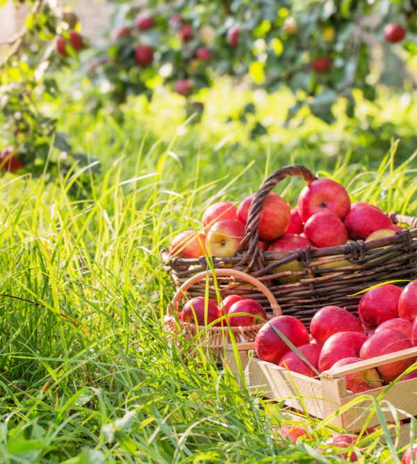 Basket of ripe apples under an apple tree.